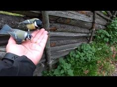 Birds at Skansen eating from my hand. Birds, Youtube, Animales, Bird, Youtubers, Youtube Movies