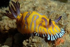 The Sea Slug Forum - Chromodoris roboi