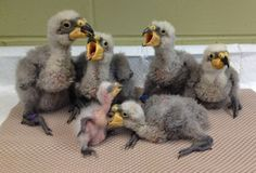 The Cincinnati Zoo was recently rewarded for their work with the Kea. The Zoo received the Plume Award for Noteworthy Achievement in Avian Husbandry, from the Avian Scientific Advisory Group. Check out ZooBorns to learn more, and see more! http://www.zooborns.com/zooborns/2015/04/cincinnati-zoo-receives-plume-award.html
