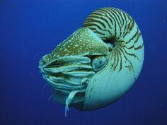 Nautilo / Nautilus