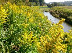 Canada goldenrod #flowers