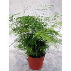 Mountain Valley Seeds - Asparagus Fern - A. plumosa nanus #06383P
