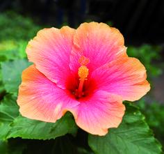 Il meraviglioso fiore dell'hibiscus con le sue mille sfumature