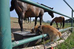 The Corgi and the horses