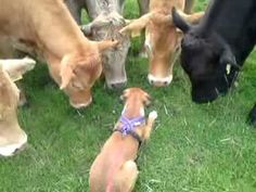A boxer lays down to avoid scaring a curious herd of cows.