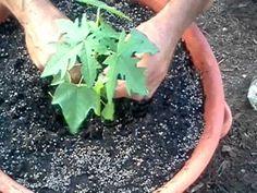 Growing Papaya from seeds PT 3