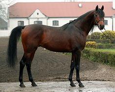 Ganges.. Polish Arabian stallion and doesn't he look fast