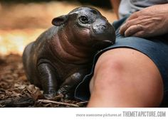 Baby hippo snuggle