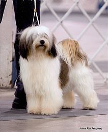 Tibetan Terrier Breeder on QualityDogs.com Cute Puppies, Dogs And Puppies, Cute Dogs, Doggies, Tibetan Terrier Breeders, Tibet Terrier, Polish Lowland Sheepdog, Animals And Pets, Cute Animals