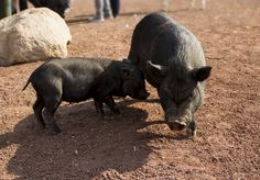 Puerco, lechon, gris, marrano, animales, tierra, padre. madre, hijo, Pig, piglet, gray, pig, animals, earth, father. mother, son
