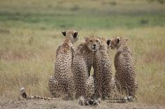Cheetahs in Selenkay Conservancy (Amboseli eco-system).