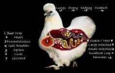 Natural Chicken Keeping: Natural Treatments for Sour Crop