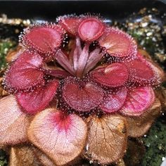 Drosera falconeri  Content but in need of a little grooming! #divideandculture…
