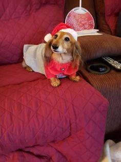 Christmas Dachshund, Dachshunds, Beautiful Christmas, Bean Bag Chair, Dogs, Home Decor, Dachshund, Decoration Home, Room Decor