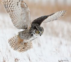 great horned owl flying - Google Search