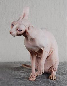 hairless cat / sphynx