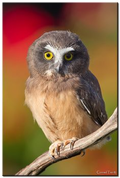 Photo Saw Whet Owlet by Conrad Tan on All About Animals, Like Animals, Beautiful Owl, Animals Beautiful, Baby Owls, Owl Babies, Saw Whet Owl, Funny Owls, Owl Eyes