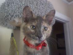 Adorable baby Sookie! #tortie