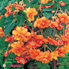AmeriHybrid Yellow and Red Picotee Hanging Basket Begonia. | CalBegonias.com