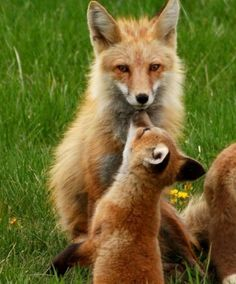 Baby fox gives mama a kiss. - I loooove foxes.if I were an animal I would be a fox.I even have the exact color hair I was born with. Animals And Pets, Baby Animals, Cute Animals, Wild Animals, Beautiful Creatures, Animals Beautiful, Fuchs Baby, Cute Fox, Wild Dogs