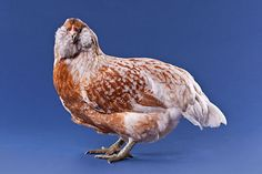"Araucanas Americanas Chickens | ) sell these as ""Ameraucanas,"" ""Americanas"" or sometimes ""Araucanas ..."