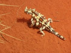 Thorny Devil / Australian lizard which can live up to 20 years. The Thorny Devil's body is ridged in structure, and this enables the animal to collect water from any part of its body. That water is then conveyed to its mouth. When it feels threatened by other animals or birds, it lowers its head between its front legs, and then presents its false head.