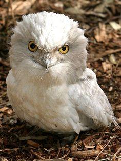 Google Image Result for http://resources1.news.com.au/images/2011/02/15/1226006/296317-albino-owl.jpg