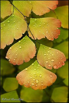 Maidenhair Fern. New fronds are often pink; in some species, completely pink, before turning green.