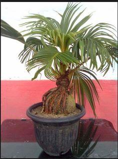 Tips dan Triks Bagi Anda Pemilik Bonsai Kelapa Bonsai Art, Bonsai Plants, Bonsai Garden, Bonsai Trees, Small Trees, Small Gardens, Dream Garden, Flower Arrangements, Coconut