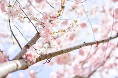 I do love the obsession with cherry blossoms here. It makes the long Austrian winters worth it. Mostly.