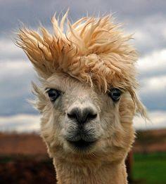 Llama on a bad hair day