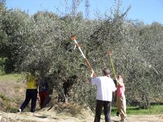 Olive Harvest Holiday, Casa Fontana, Umbria, Italy. George & Edith are fabulous hosts. We loved our experience.