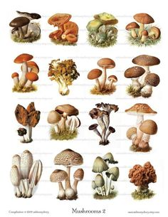 Vintage Mushroom Illustrations in vintage mushroom drawing collection - ClipartXtras Mushroom Images, Mushroom Art, Mushroom Fungi, Mushroom House, Botanical Drawings, Botanical Illustration, Botanical Prints, Mushroom Tattoos, Science Illustration