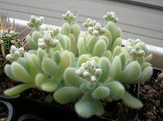 Sedum hintonii, in bloom.