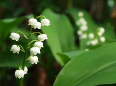 Lily of the Valley - fragrant flower