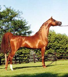 Un pura sangre árabe... [caballo]                                                                                                                                                                                 Más