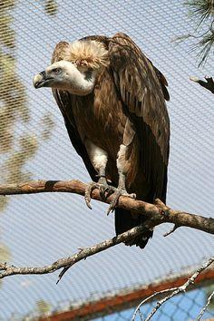 Buitre leonado : En el parque mas de 500 parejas, mas de 300 nidos anuales censados, envergadura 2,80 m, de 6 a 10kg, volar hasta 4000mts de altitud, es monógamo, suelen poner un solo huevo, e incuban los 2 progenitores, utilizan para la detección de los cadáveres a otras aves córvidos, toman colores metálicos, viven 40 o 45 años, aguantan hasta 2 semanas sin comer