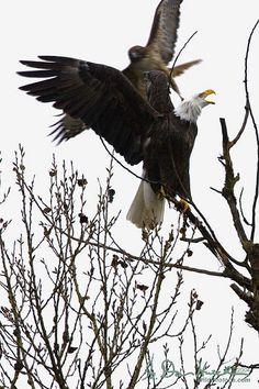 Red Tail Hawk and Bald Eagle. Awesome pic