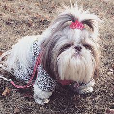 Shih Tzu ... Grumpy Sadie