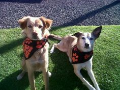 Would your dog like to join the cool kids on the block? Soi Dog bandanas now available for a donation of £6 / US$10 / €7 (+ shipping). FOR ALL QUERIES AND TO ORDER, PLEASE EMAIL izzy@soidog-foundation.org 100% cotton, 55 x 55 cm square. Can be rolled up to fit different sizes. To see all items available please click the link below: https://www.facebook.com/pages/Soi-Dog-Merchandise/239459422865590
