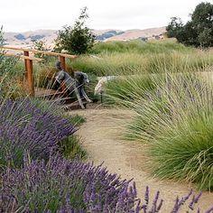 Image result for seaside garden lavender and grasses