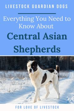 The Central Asian Shepherd is a livestock guardian dog (LGD) breed that is especially known for its independent nature, dominance, reactivity, courageousness, and self-confidence. Read here for everything you may want to know about this gorgeous breed. Raising Farm Animals, Dog Line, Great Pyrenees Dog, Farm Dogs, Tibetan Mastiff, Anatolian Shepherd, Real Dog, Diabetic Dog, Large Dog Breeds