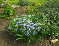 Iris cristata 'Powder Blue Giant'