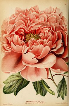 Paeonia Moutan - Neerland's Plantentuin :.  Groningen :J. Wolters,1865-1867 Floral Vintage, Vintage Botanical Prints, Vintage Flowers, Botanical Drawings, Vintage Art, Vintage Prints, Vintage Flower Tattoo, Vintage Canvas, Botanical Flowers