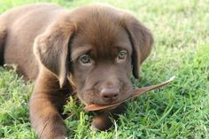labrador puppy chewing on a leaf