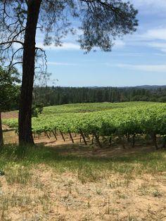 Syrah vines at Sentivo Vineyards.