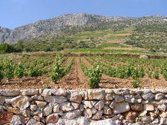 Plavac mali vineyard #Hvar #Croatia
