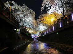 Jinhae Cherry Blossom Festival, Korea