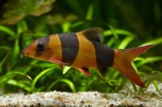 Clown Loach - entertaining schooling fish, somewhat sensitive to conditions but with right care live long and grow large Salt Water Fish, Salt And Water, Fresh Water, Fish Aquariums, Freshwater Aquarium Fish, Reef Tanks, Fish Tanks, Underwater Creatures, Underwater World