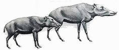 left: Flat-Headed Peccary (Platygonus) - about 3 feet long (1 meter) and 100 pounds (45 kg)  right: Long-Nosed Peccary   (Mylohyus) - a bit larger weighing 150 pounds (68 kg).